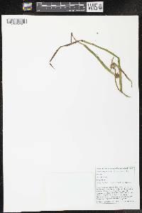Sparganium glomeratum image