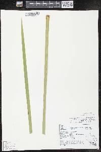 Typha X glauca image