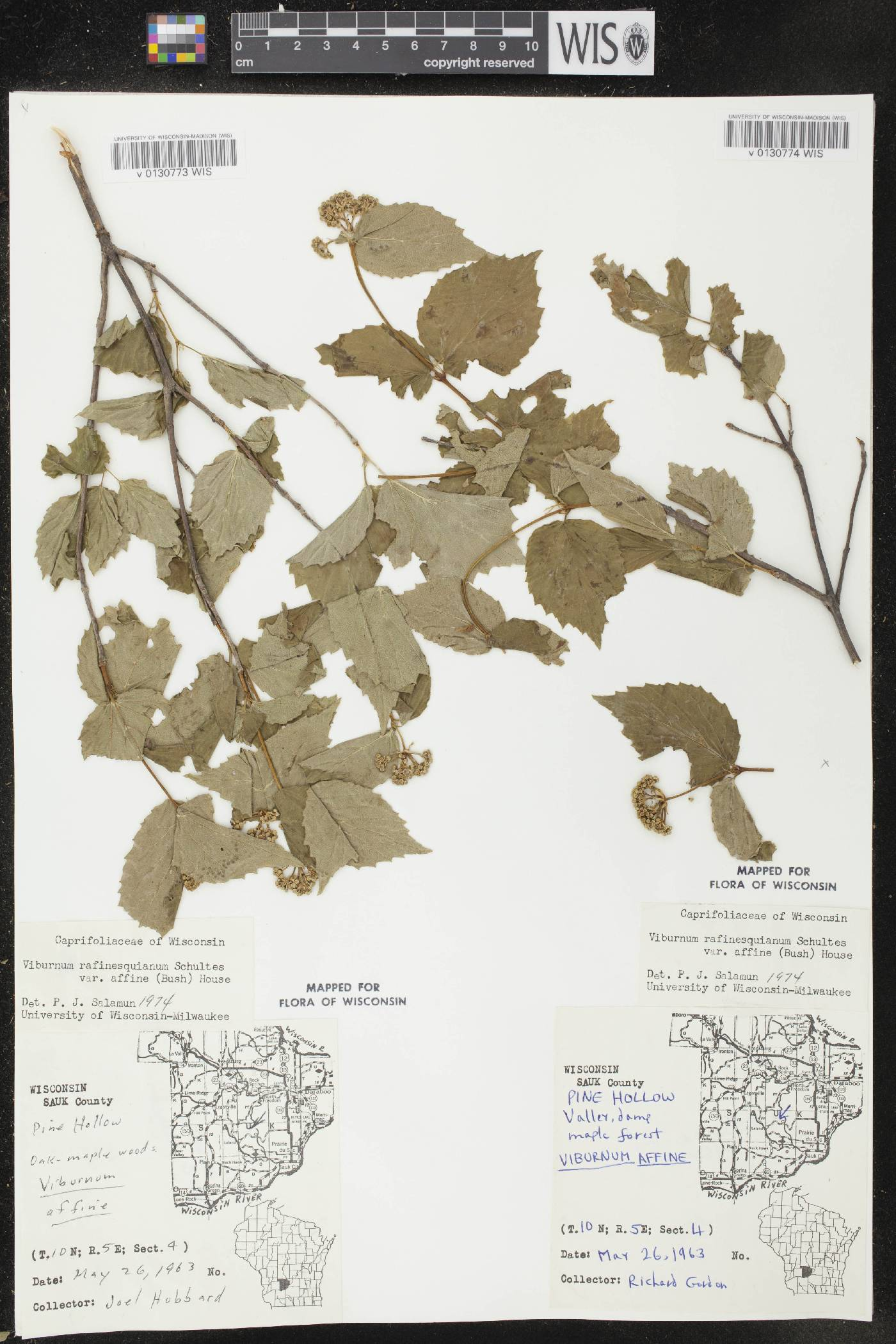 Viburnum rafinesquianum var. affine image