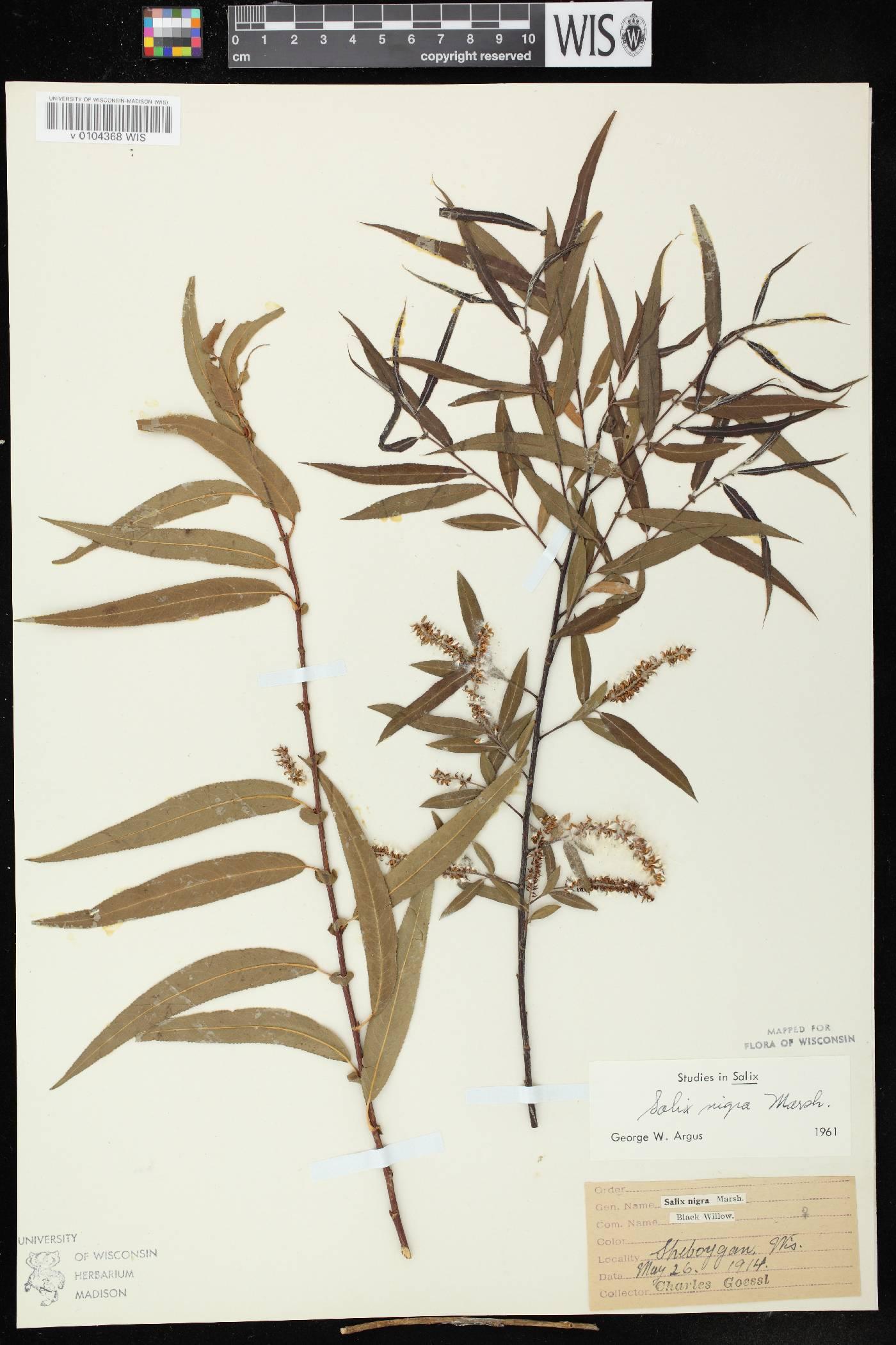 Salix nigra image