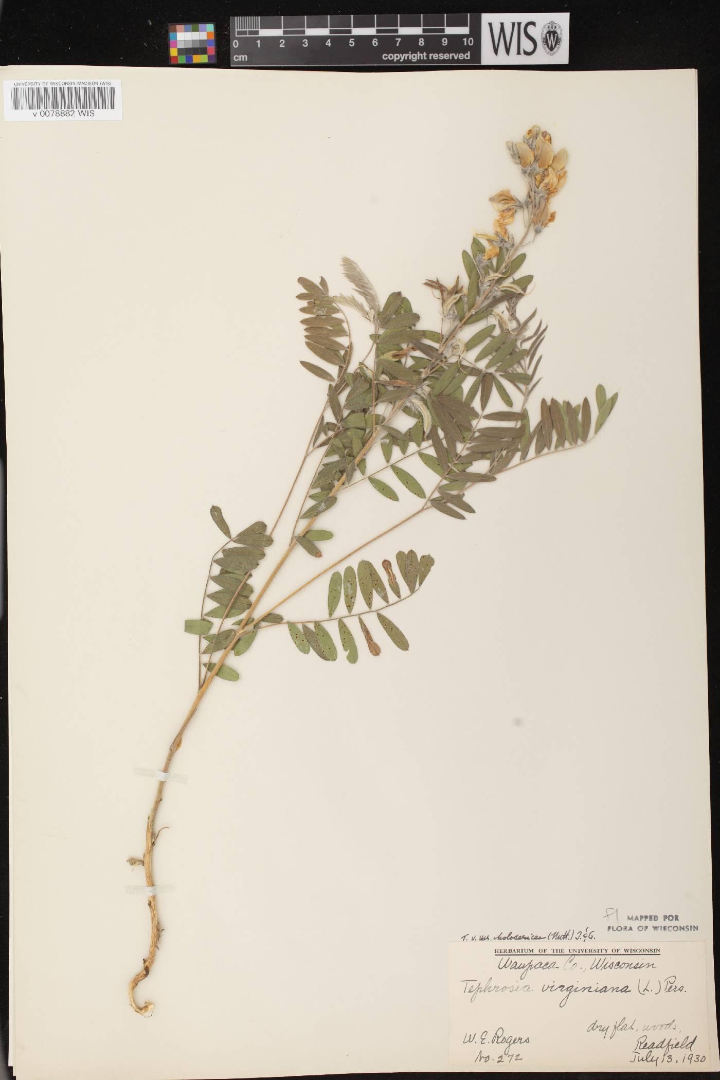 Tephrosia virginiana image