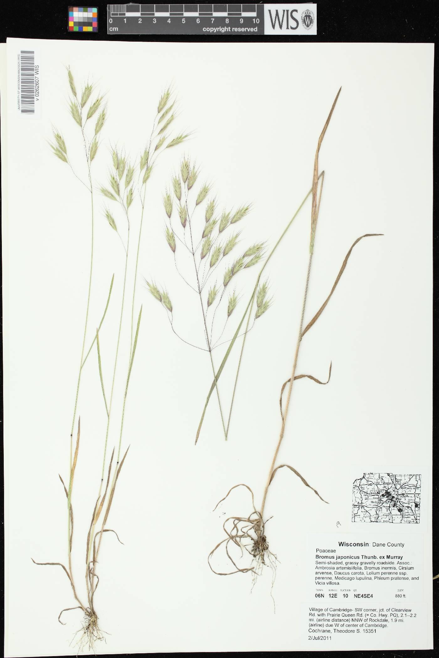 Bromus arvensis image