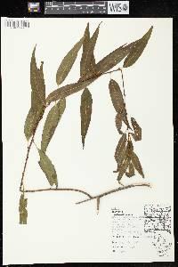 Image of Salix