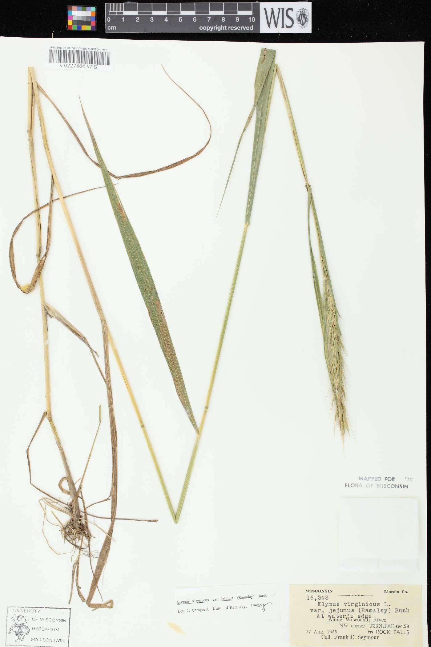 Elymus virginicus var. virginicus image