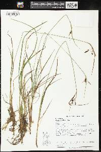 Image of Carex magellanica