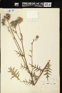 Cirsium muticum image