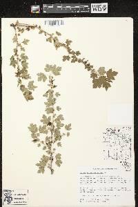 Ribes oxyacanthoides image