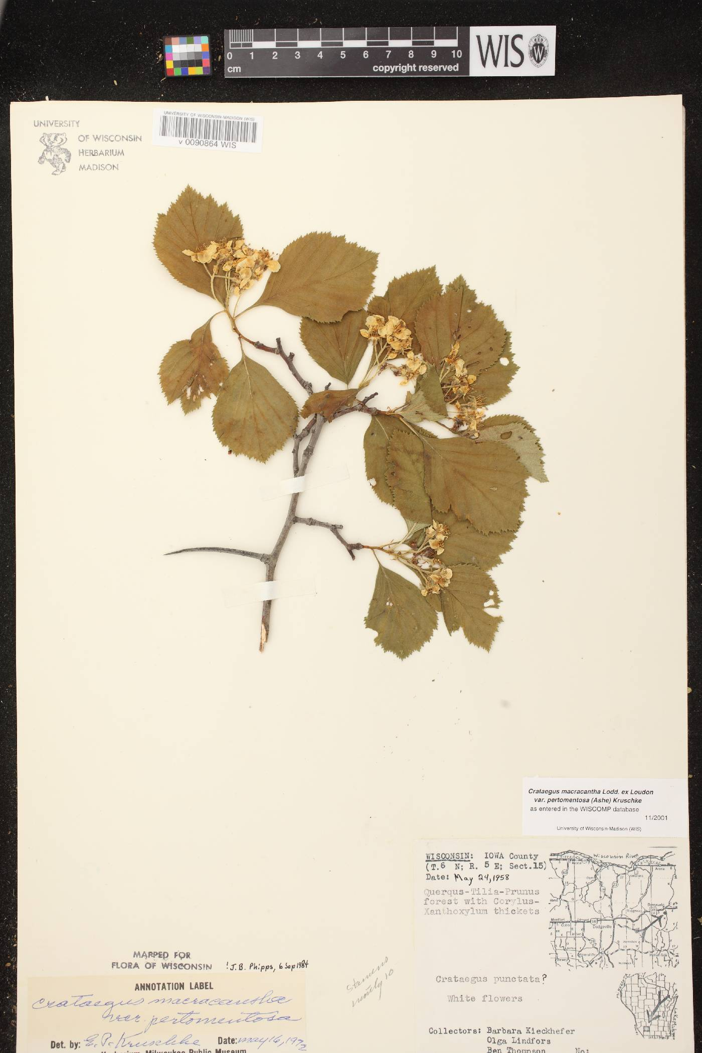 Crataegus macracantha image