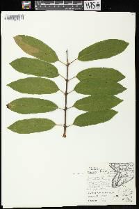 Image of Rhamnus