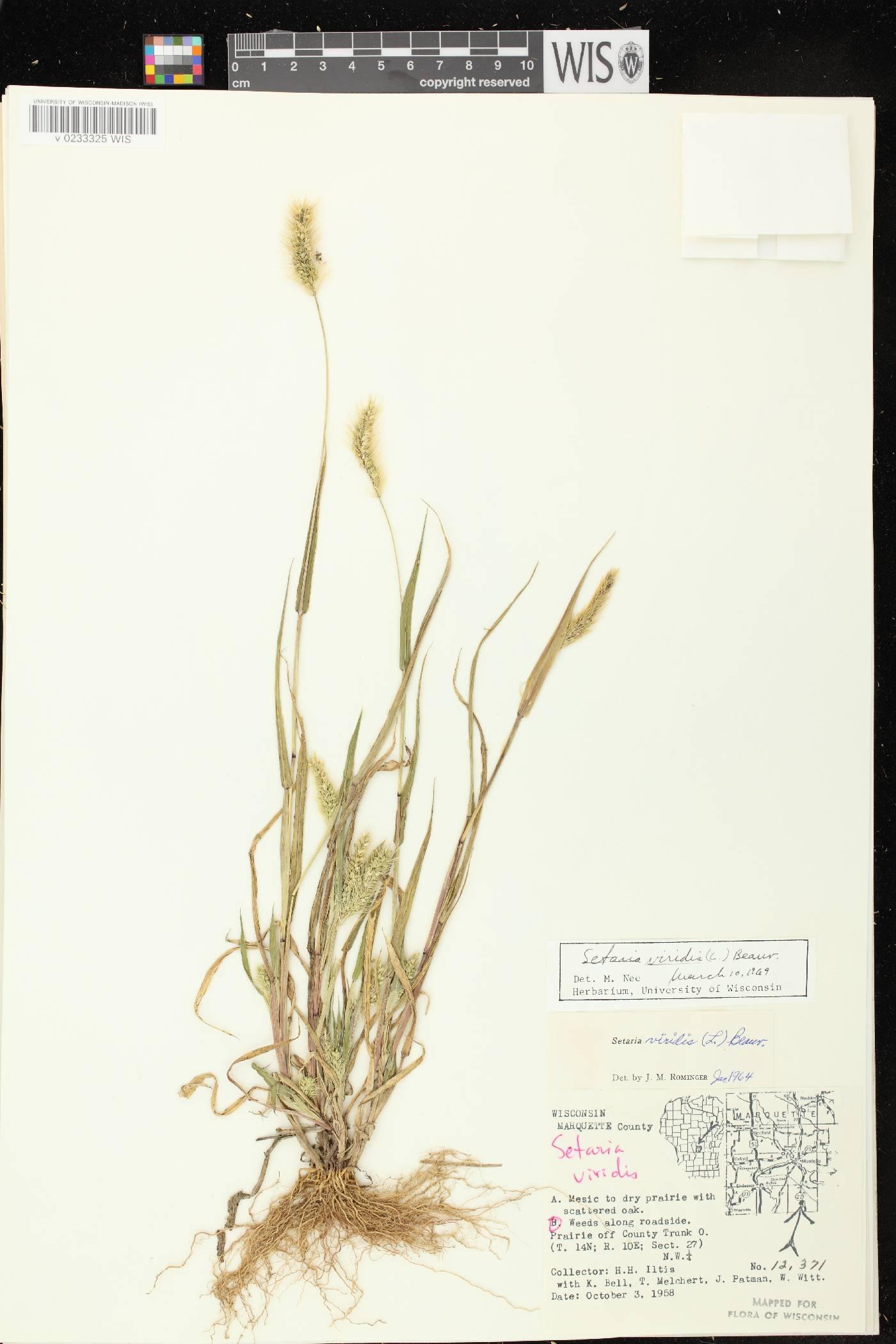 Setaria viridis var. viridis image