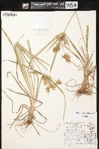 Cyperus esculentus var. leptostachyus image
