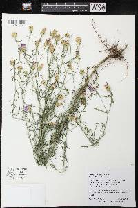 Image of Centaurea stoebe