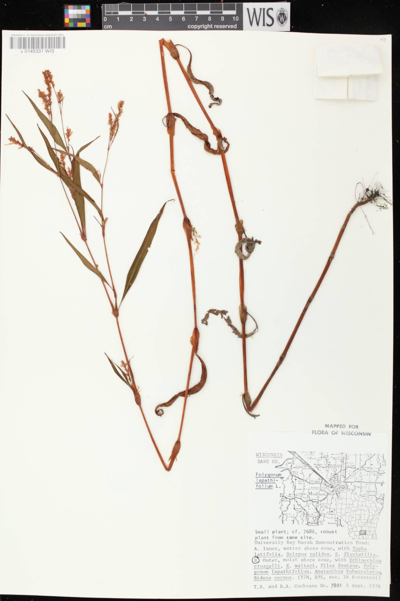 Persicaria lapathifolia image