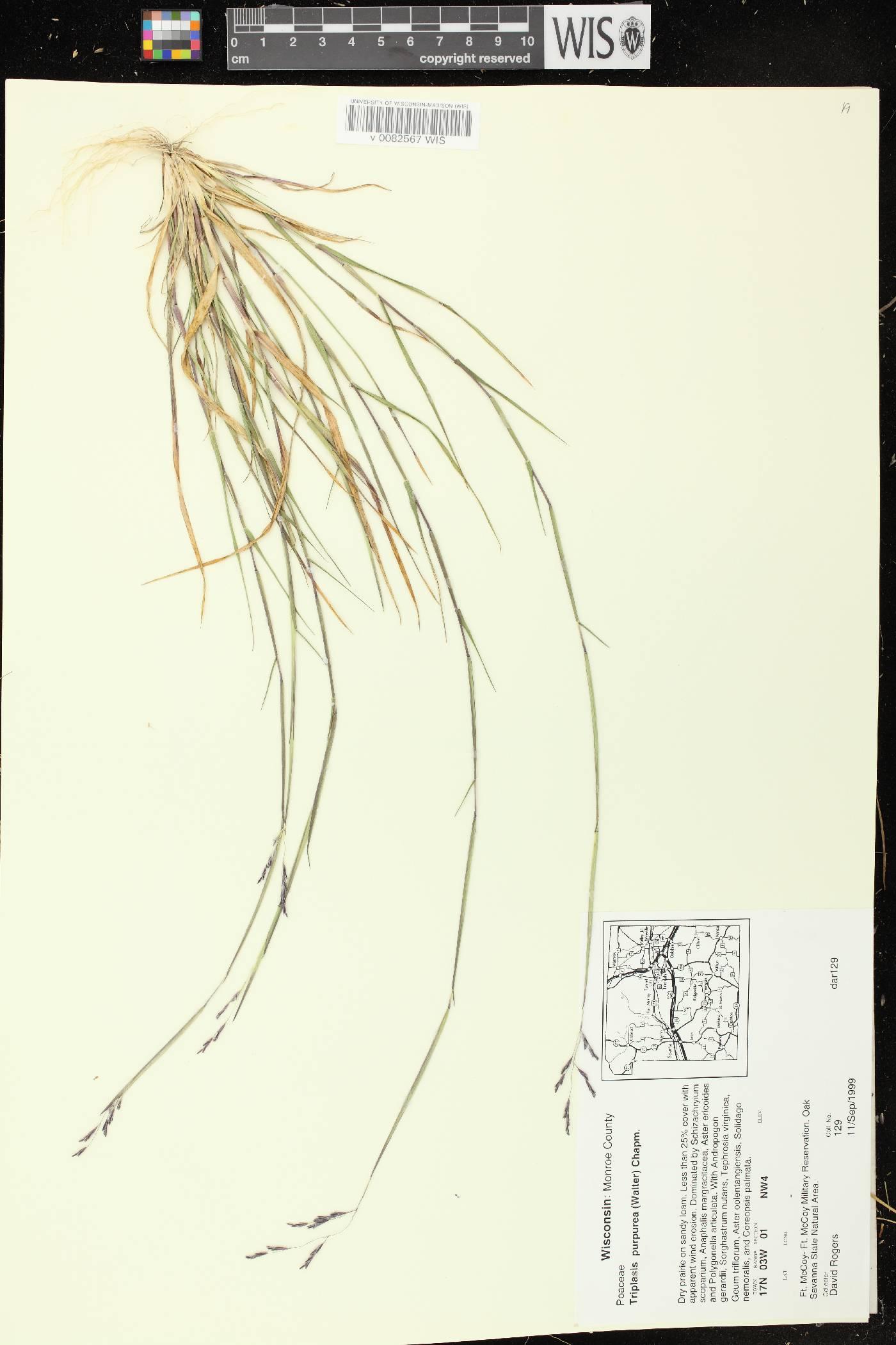 Triplasis purpurea image