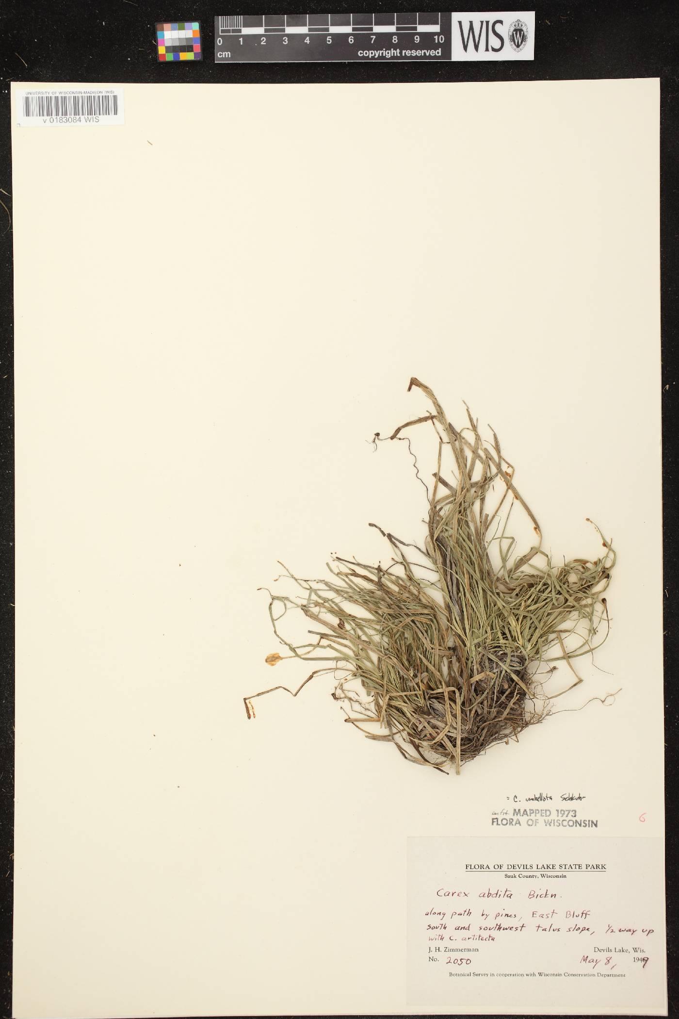 Carex umbellata image