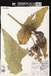Silphium perfoliatum var. perfoliatum image
