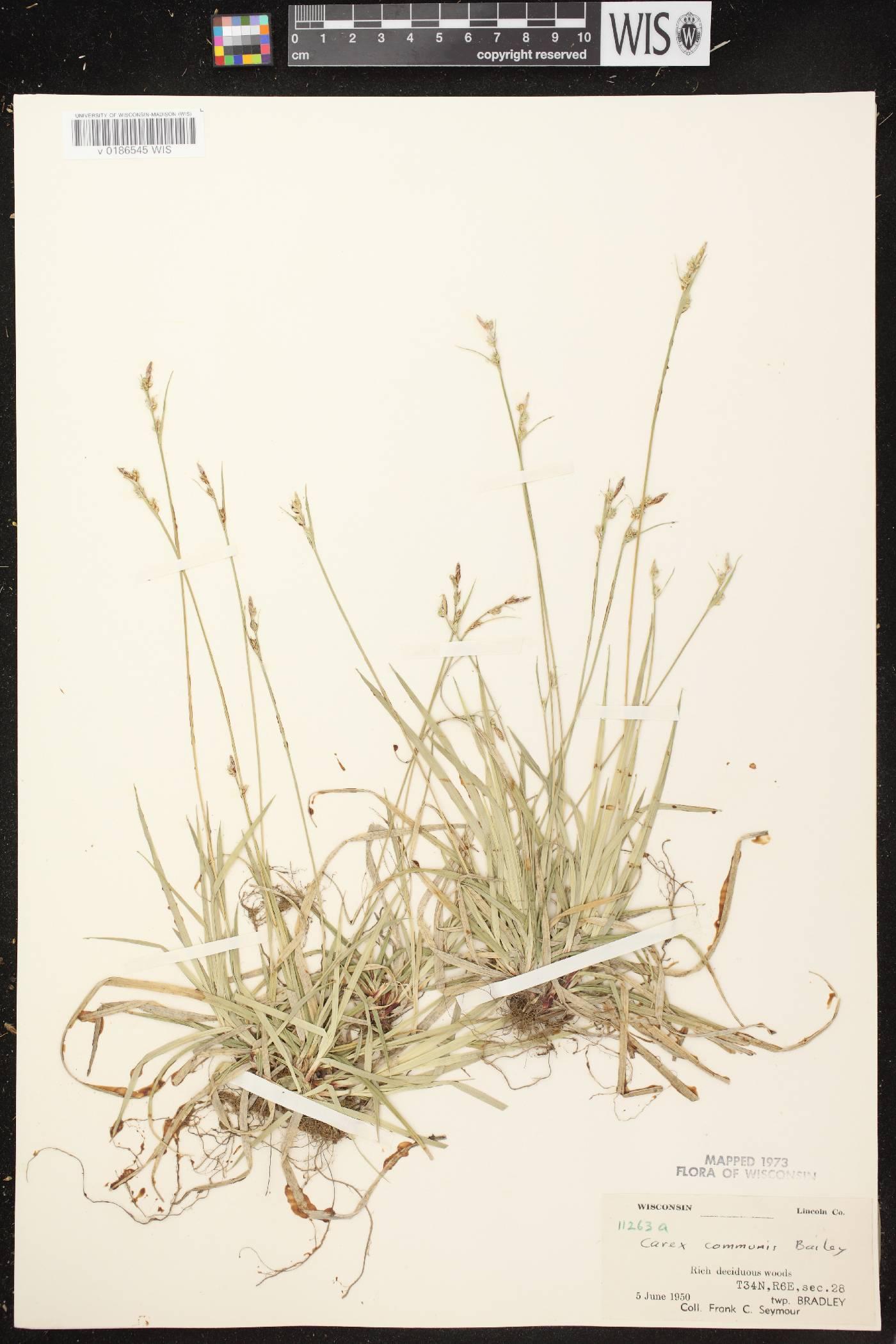 Carex communis var. communis image