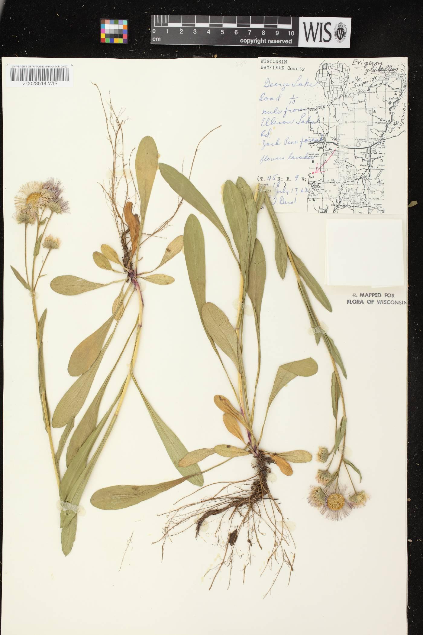 Erigeron glabellus var. pubescens image