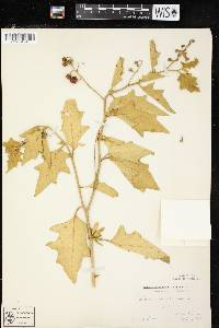 Solanum carolinense image