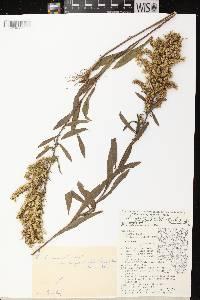 Image of Solidago nemoralis subsp. decemflora
