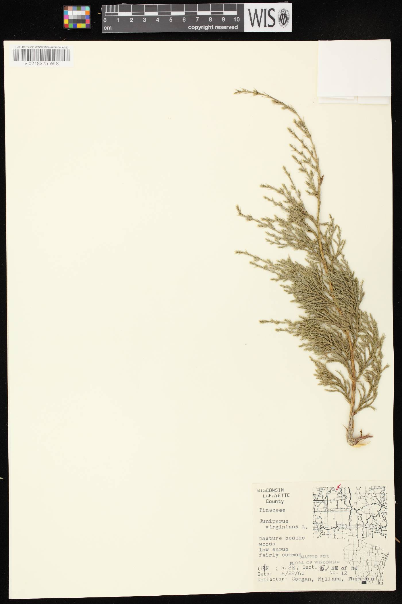 Juniperus virginiana var. virginiana image