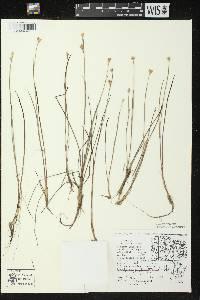 Juncus stygius var. americanus image
