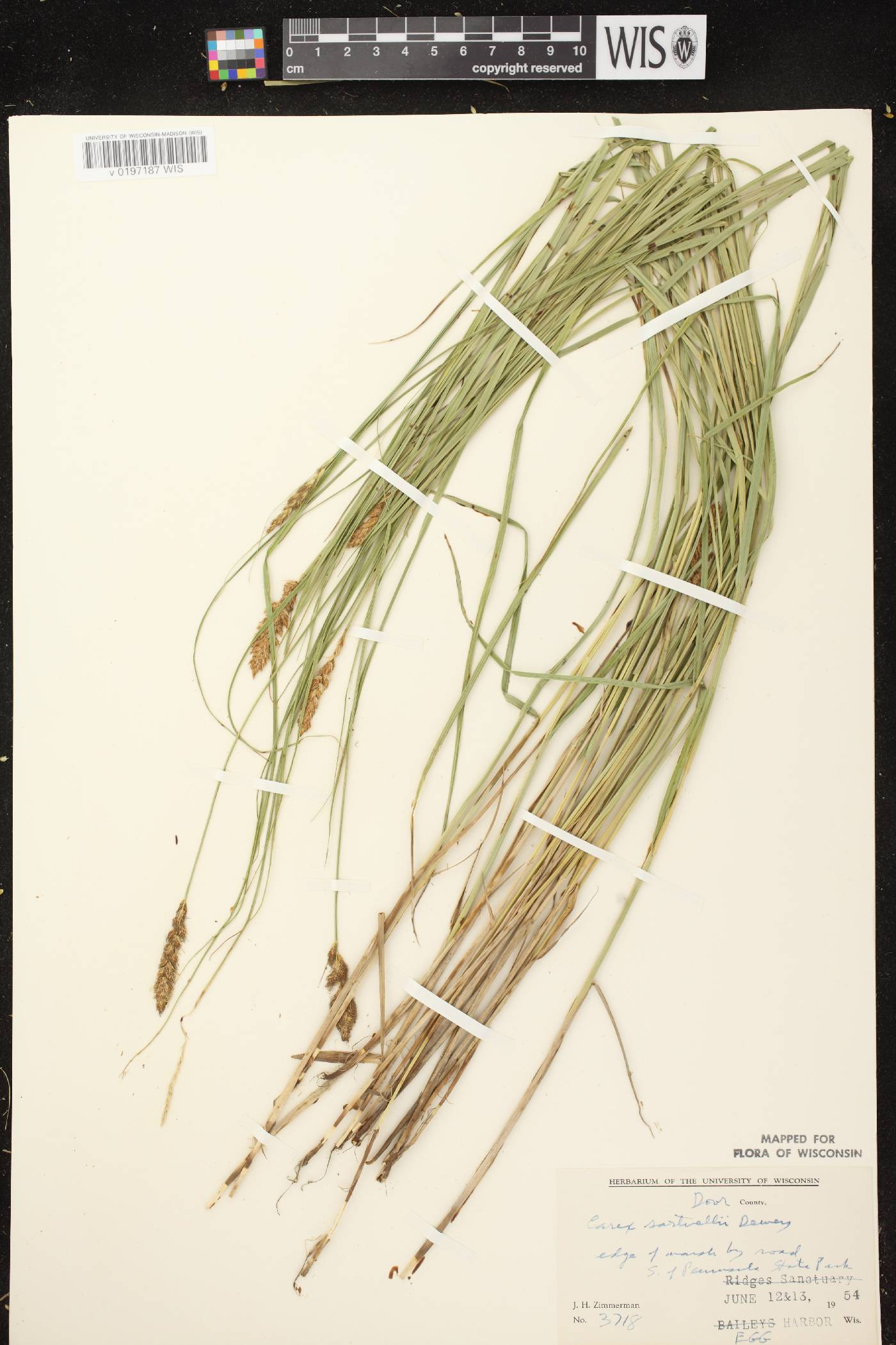 Carex sartwellii image