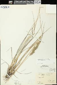 Calamagrostis stricta image