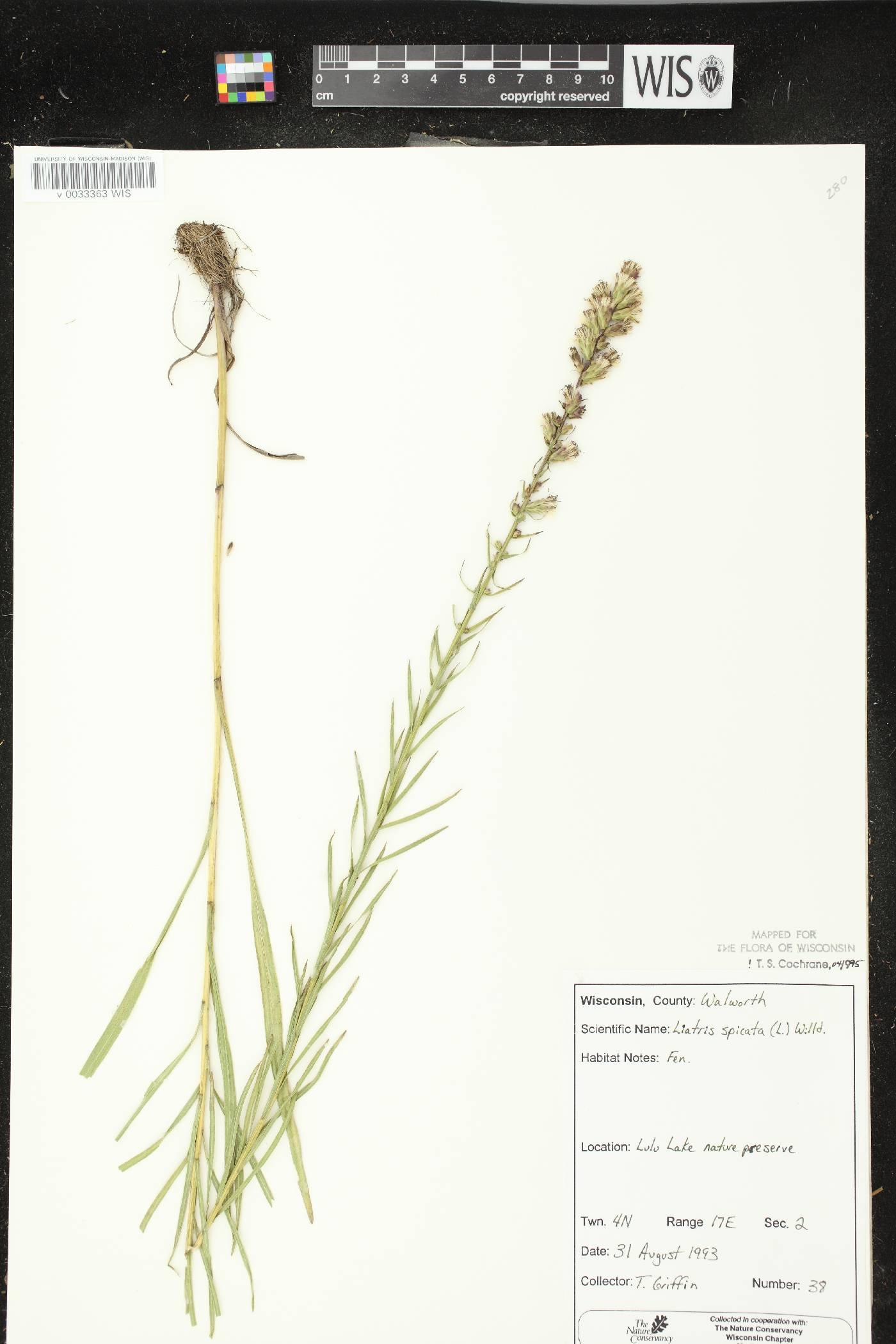 Liatris spicata var. spicata image