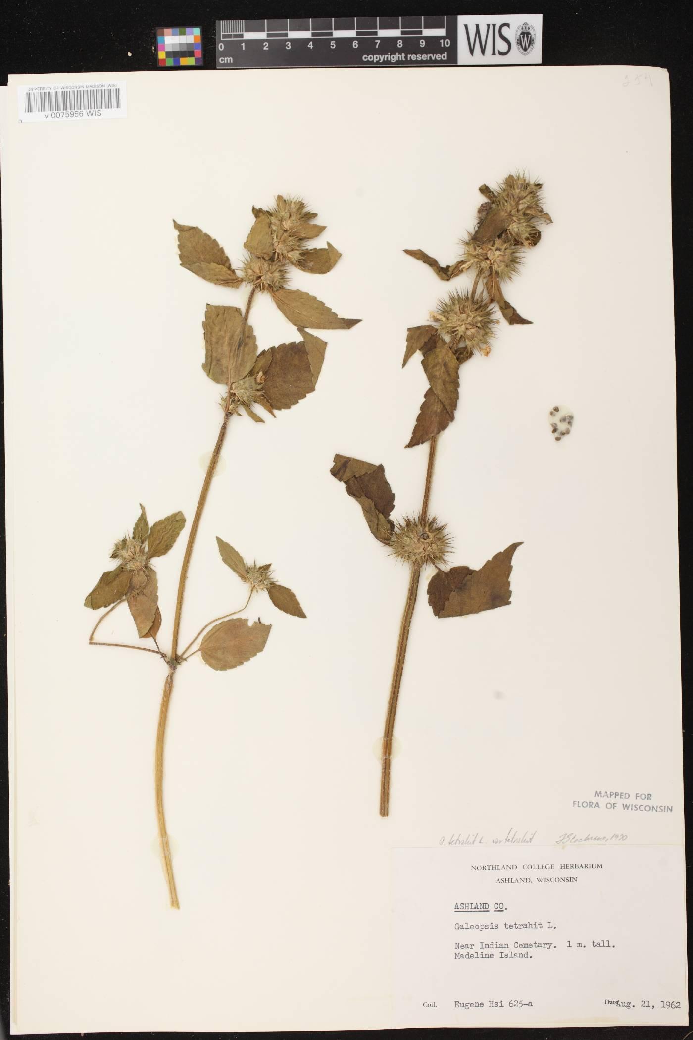 Galeopsis tetrahit var. tetrahit image