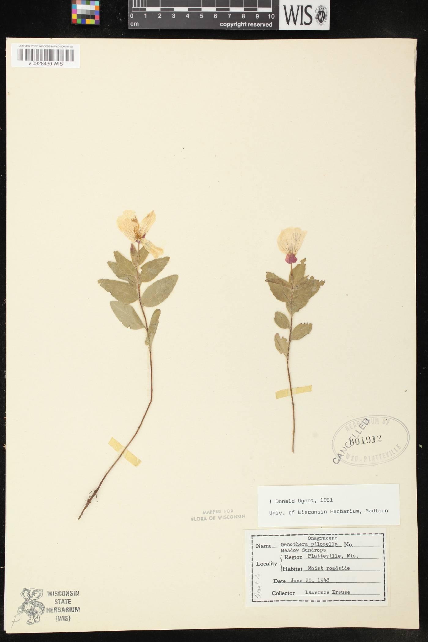 Oenothera pilosella subsp. pilosella image