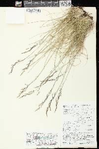Deschampsia cespitosa image