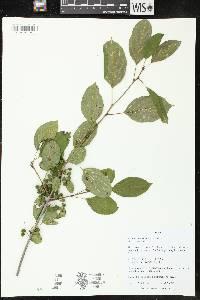 Rhamnus cathartica image