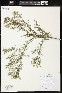 Image of Symphyotrichum lanceolatum