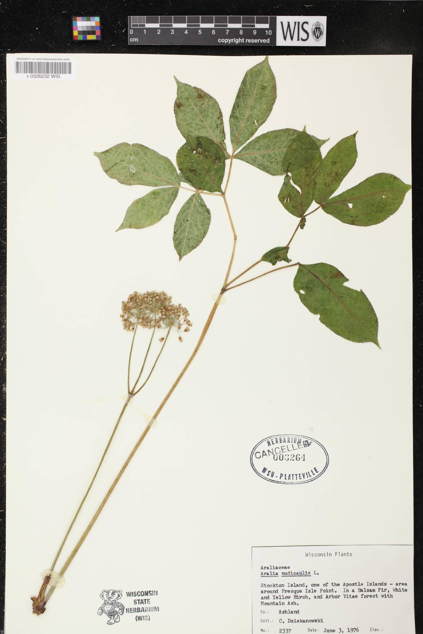 Aralia nudicaulis image
