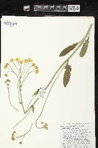 Packera paupercula var. pseudotomentosa image