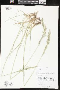 Image of Lolium arundinaceum