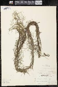 Potamogeton berchtoldii image