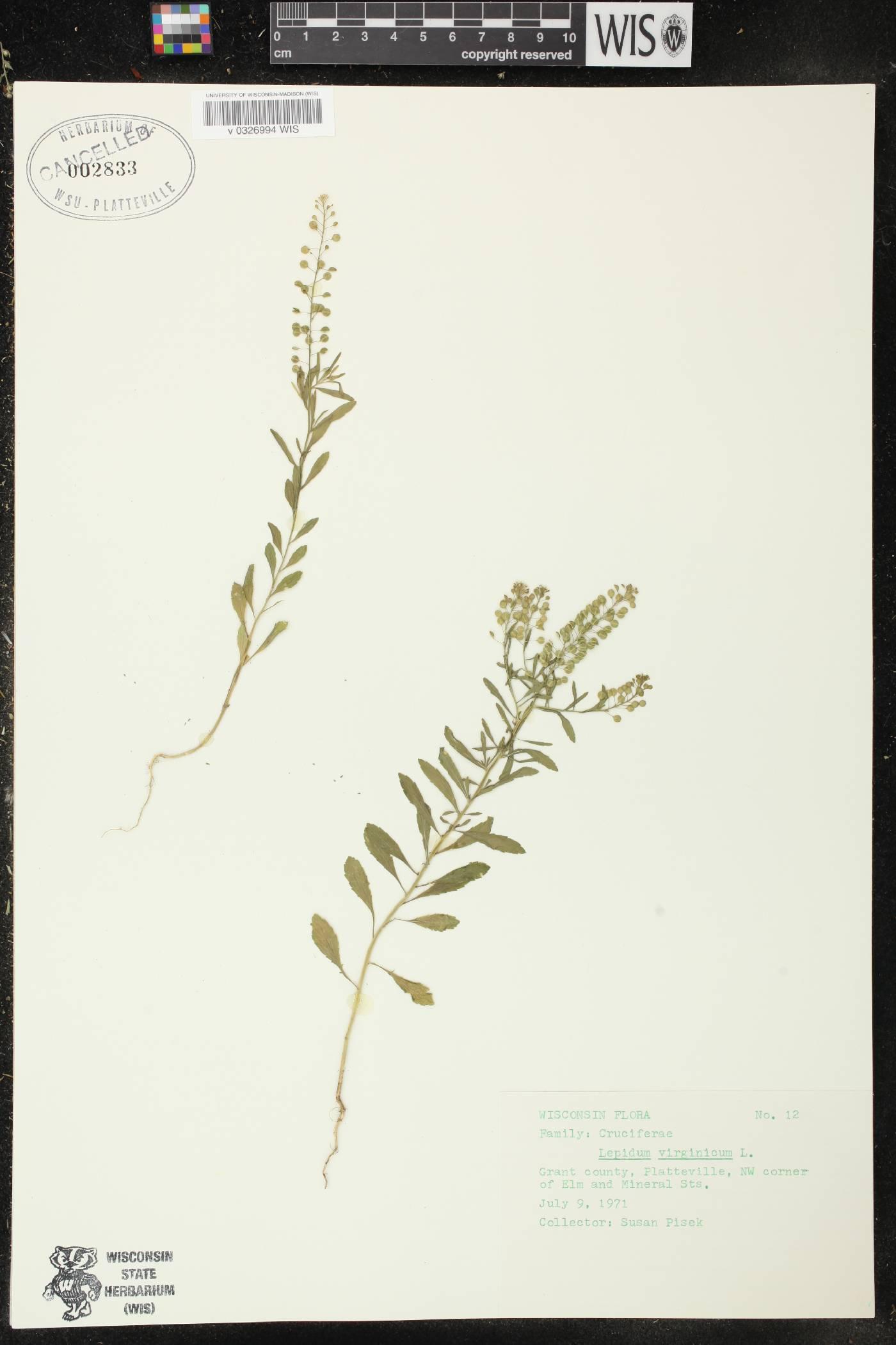 Lepidium virginicum subsp. virginicum image