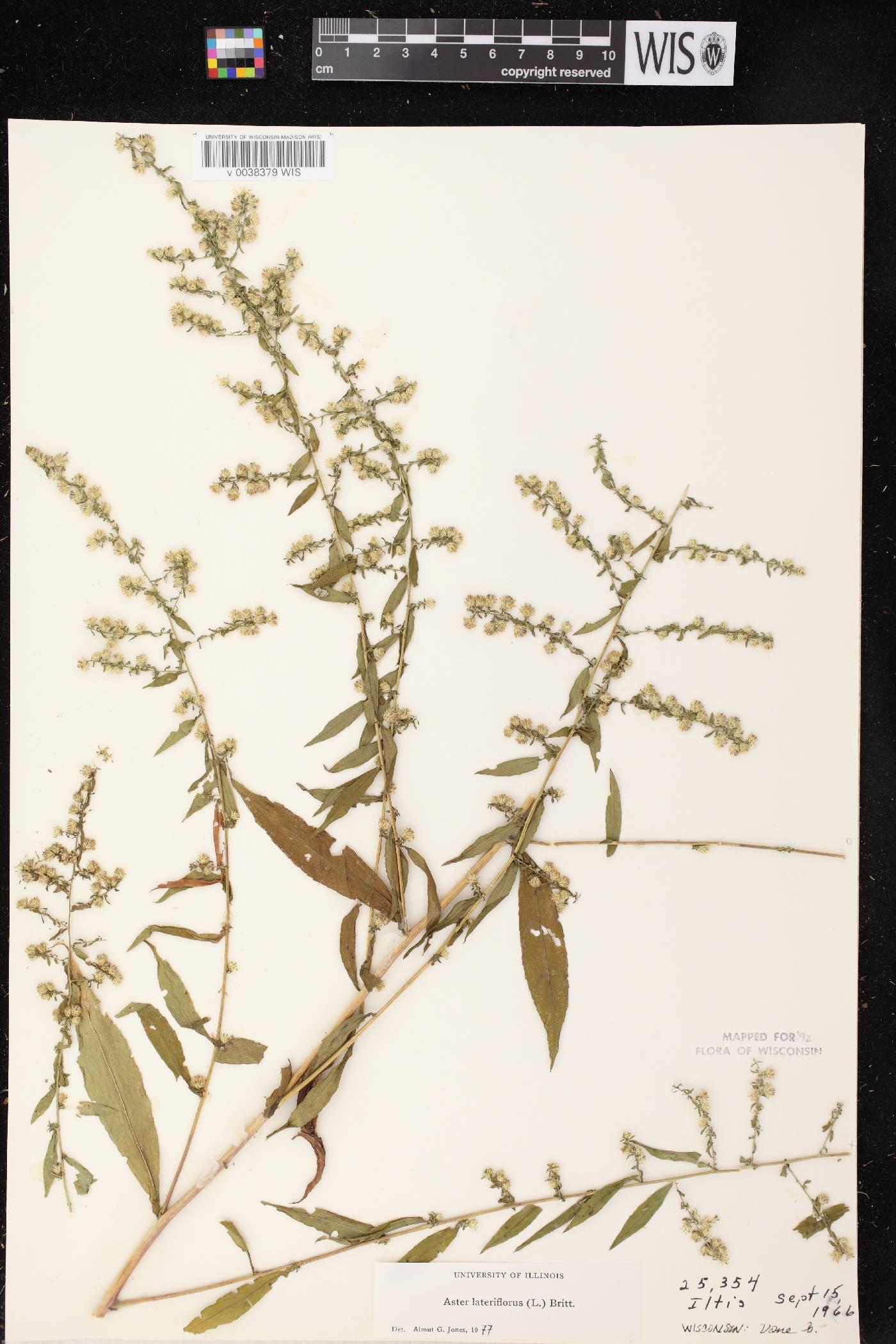 Symphyotrichum lateriflorum image