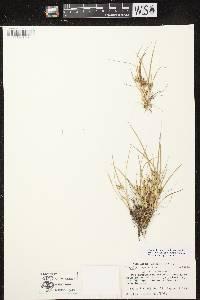 Carex viridula subsp. viridula image