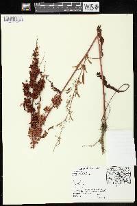 Rumex fueginus image