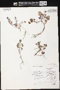 Image of Glechoma hederacea var. micrantha