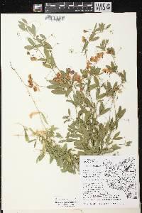 Lathyrus tuberosus image