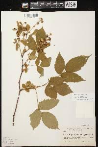 Rubus canadensis X R. pensilvanicus image