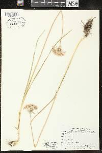 Image of Allium