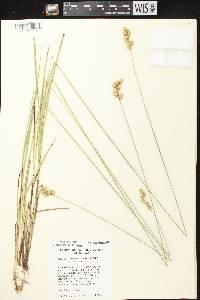 Carex merritt-fernaldii image