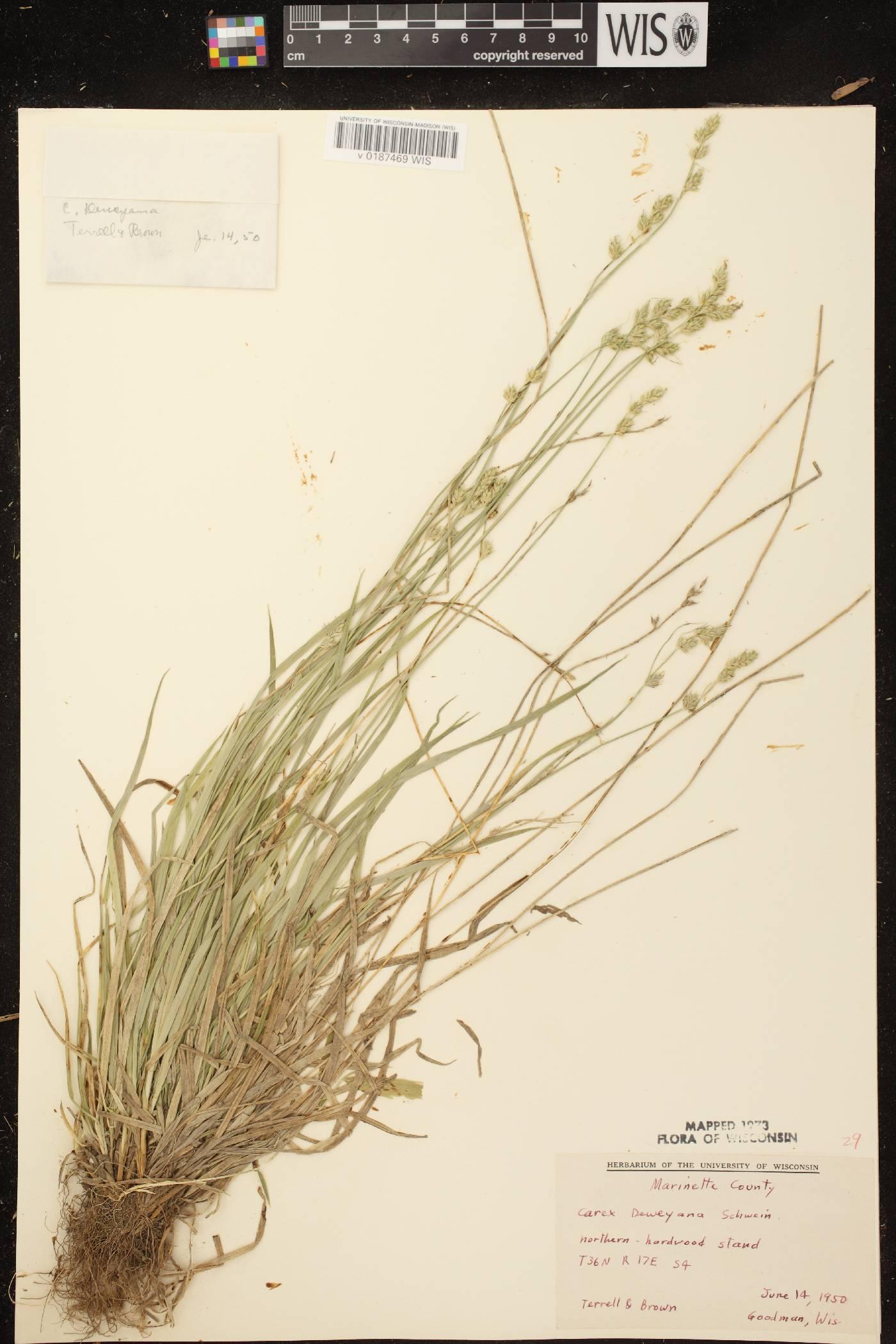 Carex deweyana var. deweyana image