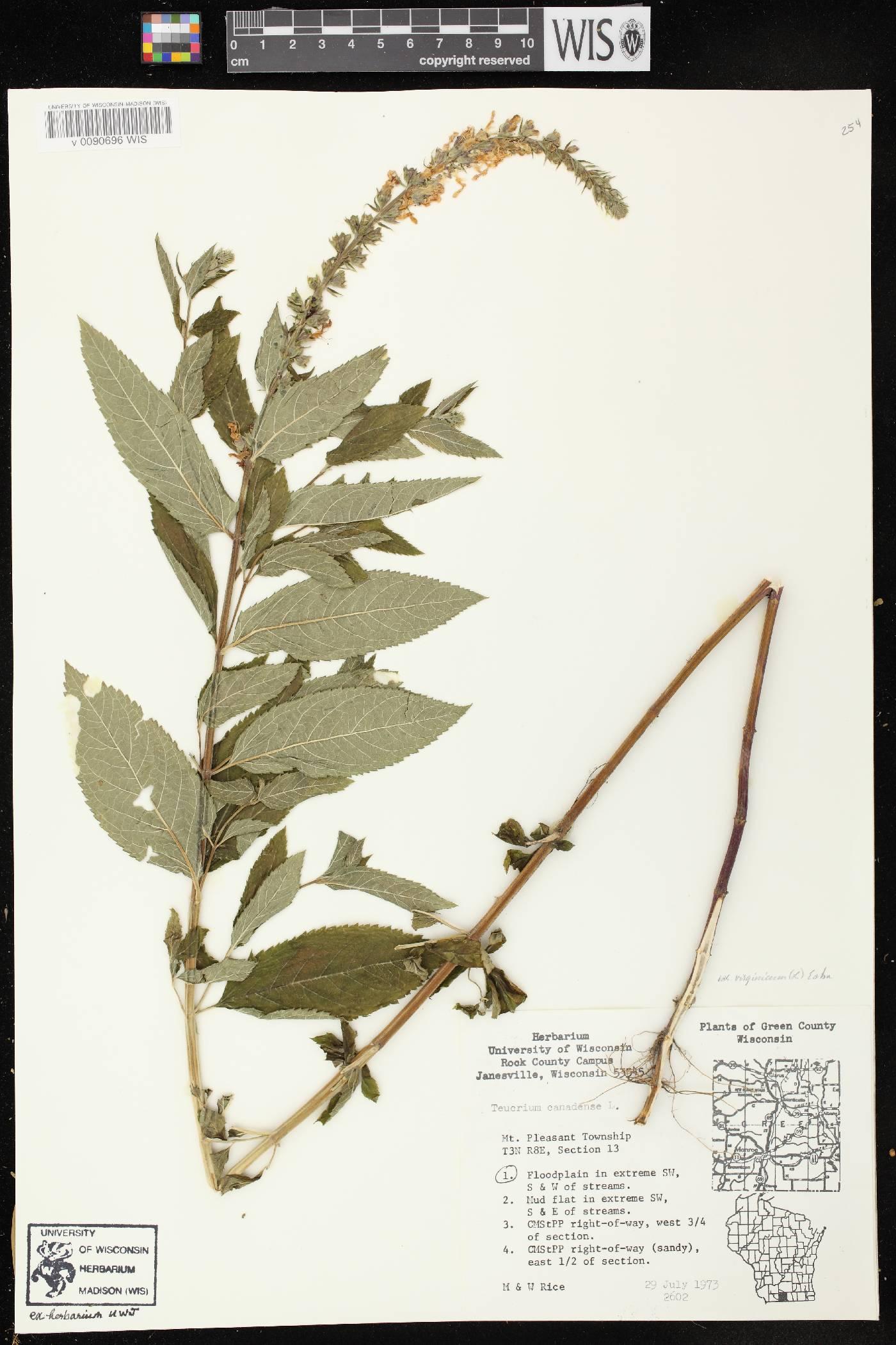 Teucrium canadense var. virginicum image