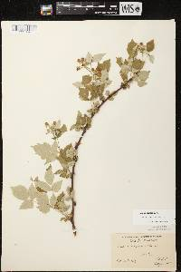 Rubus occidentalis image